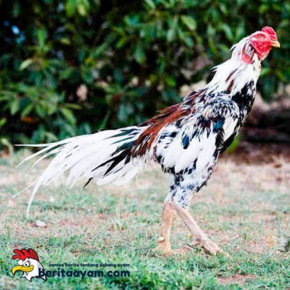 Ayam Bangkok Madu Blorok Tembus