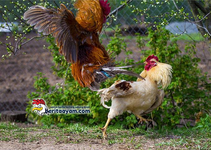 Ciri Khusus Ayam Aduan Tangguh