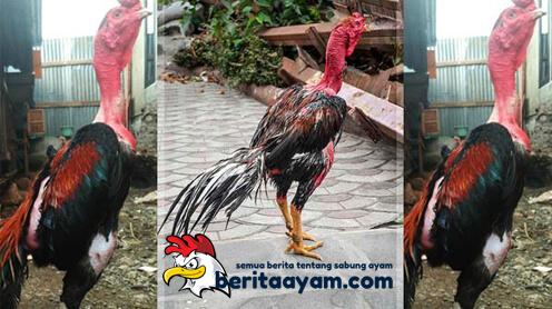 Sejarah Kehebatan Ayam Saigon Dari Vietnam