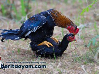 Tips Mengawinkan Ayam Bangkok Agar Dapat Anakan Berkualitas