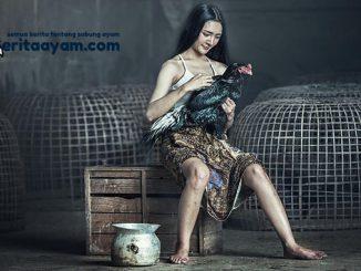 Trik Melatih Ayam Bangkok Aduan
