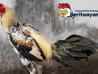 Warna Bulu Ayam Bangkok Aduan Terpopuler
