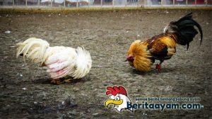 Cara Memastikan Ayam Aduan Telah Siap Tarung