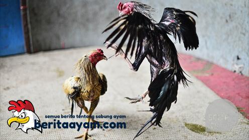 Alasan Gaya Tarung Ayam Aduan Berubah Saat Diarena