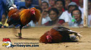 Cara Penting Menilai Ayam Aduan Berkualitas