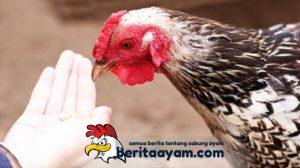 Manfaat Dari Beras Merah Untuk Ayam Bangkok