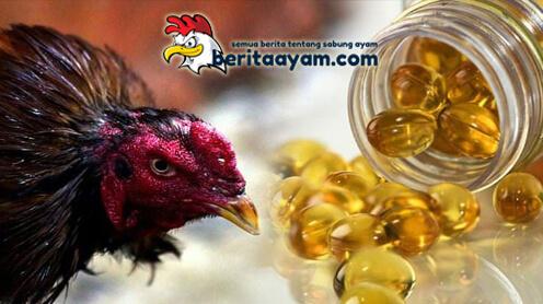 Manfaat Minyak Ikan Bagi Ayam Bangkok