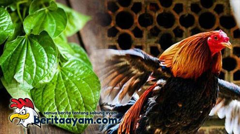 Manfaat Penting Daun Sirih Bagi Ayam Aduan