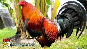 Mengenal Jenis Ayam Aduan di Filipina