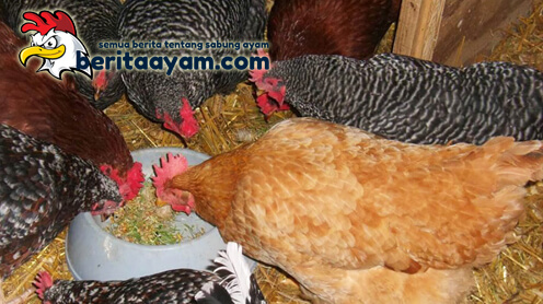 Racikan Pakan Ayam Bangkok Agar Bervariasi