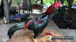 Sekilas Sejarah Ayam Pakhoy Asal Malaysia