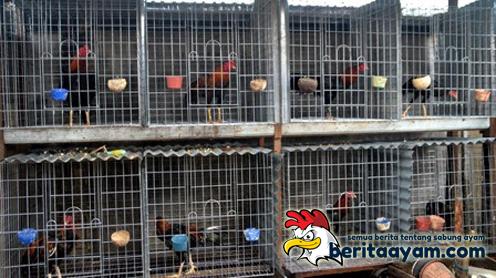 Tips Membuat Kandang Ayam Bangkok yang Sederhana dan Sehat
