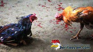 Trik Mengatasi Ayam Muda Aduan yang Lemah Mental