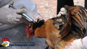Vaksin yang Bagus Untuk Ayam Bangkok