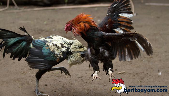 Cara Mengatasi Pukulan Ayam Aduan Tidak Bertenaga