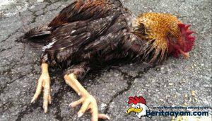 Mengobati Ayam Bangkok Yang Tiba-tiba Lemas