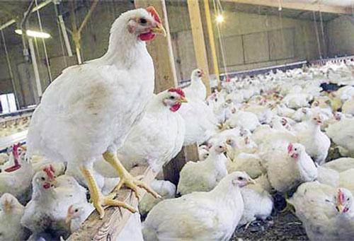 Mengenal Gejala Dan Cara Pengobatan Penyakit Pada Ayam