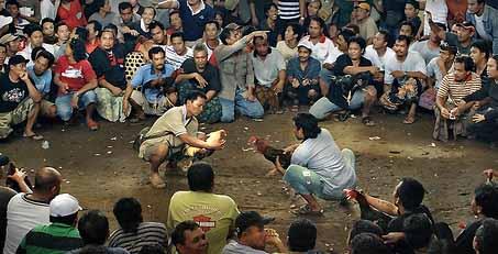 Promo Sabung Ayam - Penggemar Sabung Ayam Gugat Rp 5 Miliar. Penggemar sabung ayam Indonesia atau Papaji Gresik, Jumat (26/1/2017), mendatangi Kepolisian Resor Gresik, Jawa Timur.
