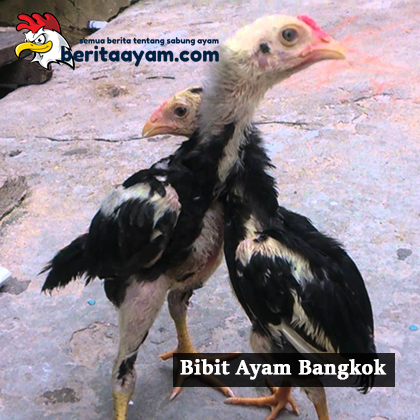 Inilah Cara Untuk Memilih Bibit Ayam Bangkok Yang Bagus