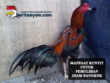 Pemulih Kesehatan Ayam Bangkok