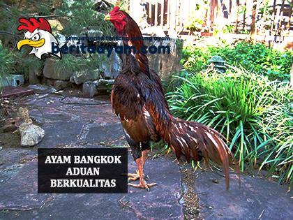 Ayam Bangkok Aduan Berkualitas