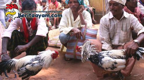 Beberapa Nama Ayam Aduan dari India yang Populer