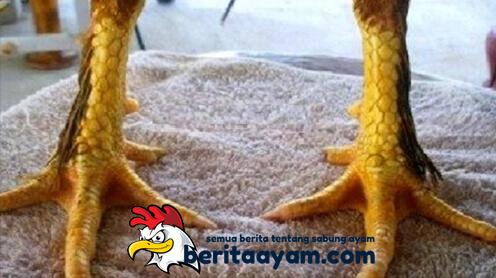 Kelebihan Sisik Kaki Berbulu Pada Ayam Aduan