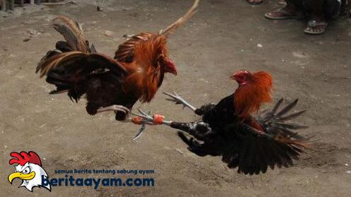 Penyebab Ayam Solah Populer Dikalangan Botoh