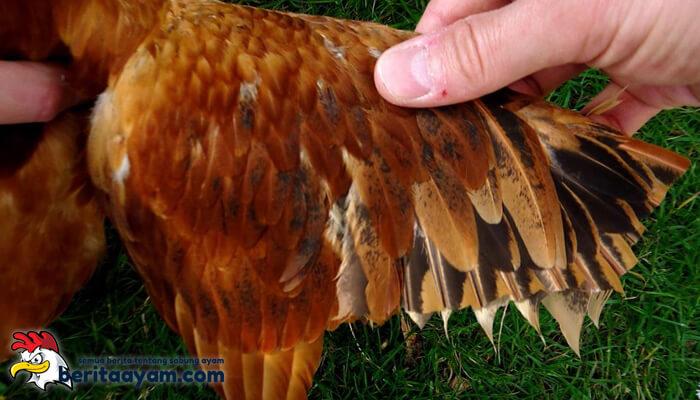 Cara Pengobatan Sayap Ayam Aduan yang Bengkak
