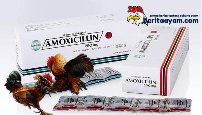 Manfaat Amoxilin Untuk Pengobatan Ayam Aduan